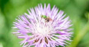 Pequeña abeja verde en una flor púrpura en el campo Fotografía de archivo