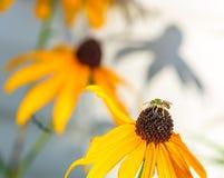 Pequeña abeja verde que busca para el polen Fotos de archivo