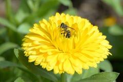 Pequeña abeja y flor amarilla Imagen de archivo libre de regalías