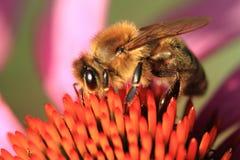 pequeña abeja y flor violeta del echinacea Imagen de archivo libre de regalías