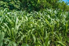 Pequeña agricultura del campo de maíz Naturaleza verde Tierra de cultivo rural en s Fotos de archivo