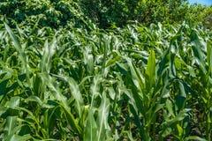 Pequeña agricultura del campo de maíz Naturaleza verde Tierra de cultivo rural en s Imágenes de archivo libres de regalías