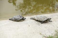 Pequeña agua de las tortugas Imágenes de archivo libres de regalías