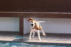Pequeña agua del chapoteo del perro del beagle en el borde de la piscina Imágenes de archivo libres de regalías