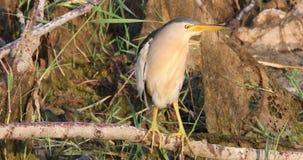Pequeña agua madre de salmuera masculina en rama de árbol en pantano metrajes