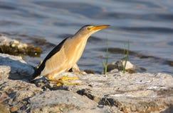 Pequeña agua madre de salmuera (minutus del ixobrichus) Fotos de archivo