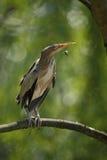 Pequeña agua madre de salmuera, minutus del Ixobrychus, sentándose en la rama con la abeja Imagen de archivo