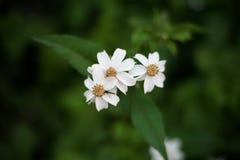 Pequeña aguja de la flor blanca con la abeja que chupa el néctar como primer Imagenes de archivo