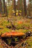 Pequeña amanita en bosque Foto de archivo
