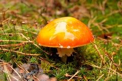 Pequeña amanita en bosque con un sombrero brillante Foto de archivo