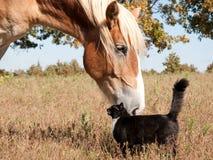 Pequeña American National Standard del gato un caballo grande - mejores amigos Fotos de archivo libres de regalías