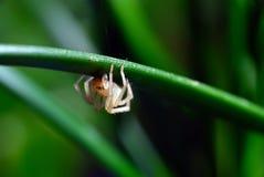 Pequeña araña Foto de archivo