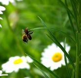 Pequeña araña, caída grande de la abeja en hierba Imagen de archivo