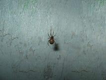 Pequeña araña de la noche que presenta para la cámara Imágenes de archivo libres de regalías