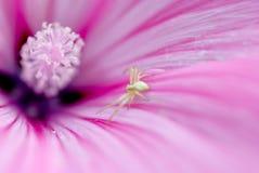Pequeña araña dentro de la flor Imagen de archivo