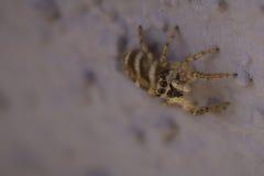 Pequeña araña grande Imagen de archivo