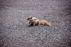 Pequeña ardilla en el camino Foto de archivo libre de regalías