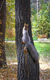 Pequeña ardilla linda en árbol Imágenes de archivo libres de regalías