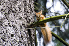 Pequeña ardilla roja en una rama del árbol Foto de archivo libre de regalías