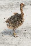 Pequeña avestruz Imagen de archivo