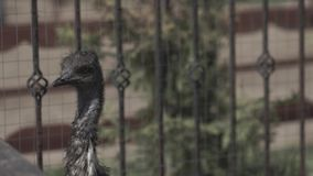 Pequeña avestruz de la granja de la avestruz Pequeña avestruz en la granja de la avestruz en el verano metrajes