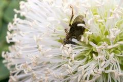 Pequeña avispa negra en algunas flores Fotografía de archivo