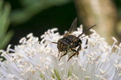 Pequeña avispa negra en algunas flores Fotos de archivo libres de regalías