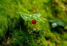 Pequeña baya salvaje roja Fotografía de archivo
