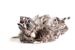 Pequeña boca del pájaro abierta Imagenes de archivo