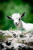 Pequeña cabra Imágenes de archivo libres de regalías
