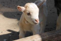 Pequeña cabra Fotos de archivo libres de regalías