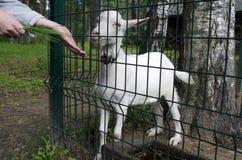 Pequeña cabra Foto de archivo