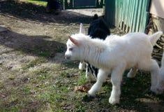 Pequeña cabra Imagenes de archivo