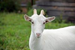 Pequeña cabra blanca foto de archivo libre de regalías