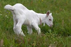 Pequeña cabra blanca en la hierba Imagen de archivo libre de regalías