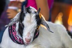 Pequeña cabra cansada Foto de archivo libre de regalías
