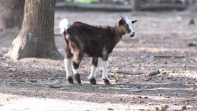 Pequeña cabra en el bosque almacen de video