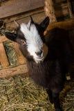 Pequeña cabra en el pesebre Imagen de archivo