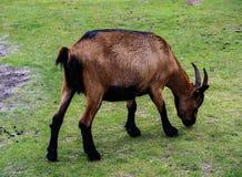 Pequeña cabra marrón Imagenes de archivo