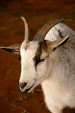 Pequeña cabra marrón y blanca en un granero Primer Foto de archivo libre de regalías