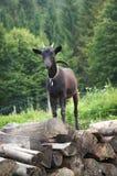 Pequeña cabra negra joven que se coloca en una pila de madera Imagenes de archivo