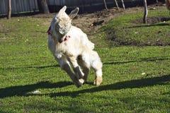 Pequeña cabra que juega en el jardín foto de archivo