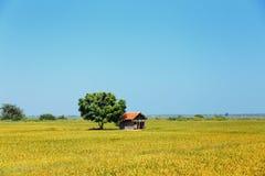 Pequeña casa cerca del árbol verde en el medio de un campo floreciente del arroz imagen de archivo