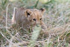 Pequeña caza del cachorro de león en hierba Fotografía de archivo libre de regalías