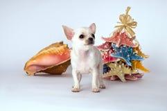 Pequeña chihuahua blanca del perrito que se coloca cerca del juguete fotografía de archivo