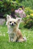 Pequeña chihuahua de pelo largo imagen de archivo libre de regalías