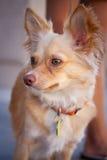 Pequeña chihuahua del animal doméstico Fotografía de archivo libre de regalías