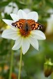 Pequeña concha de la mariposa Fotos de archivo