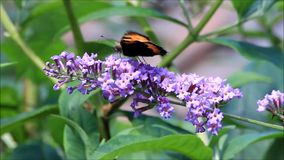 Pequeña concha de la mariposa en la flor púrpura de la lila metrajes
