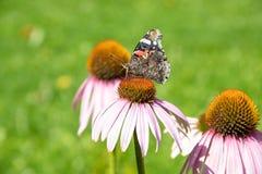 Pequeña concha de la mariposa en purpurea del echinacea de la flor imágenes de archivo libres de regalías